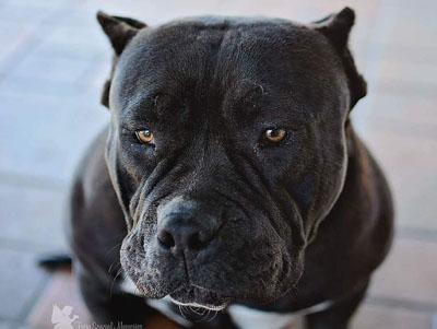 gotty pitbull photo