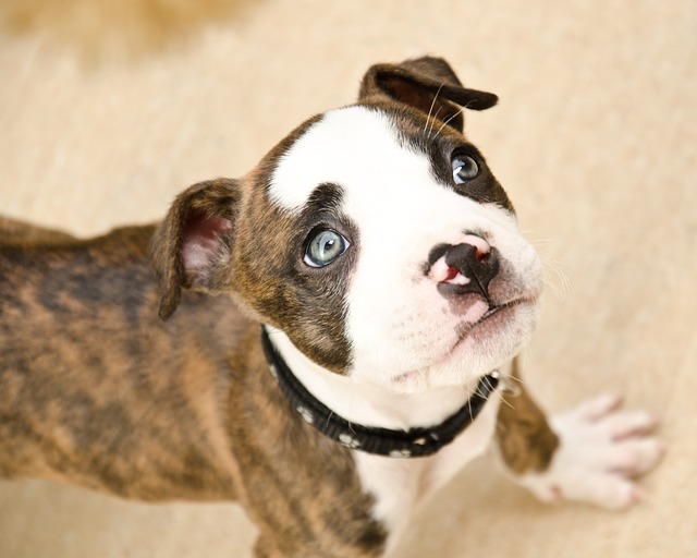 small brindle puppy