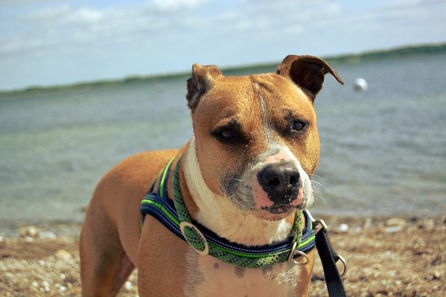 pitbull on beach
