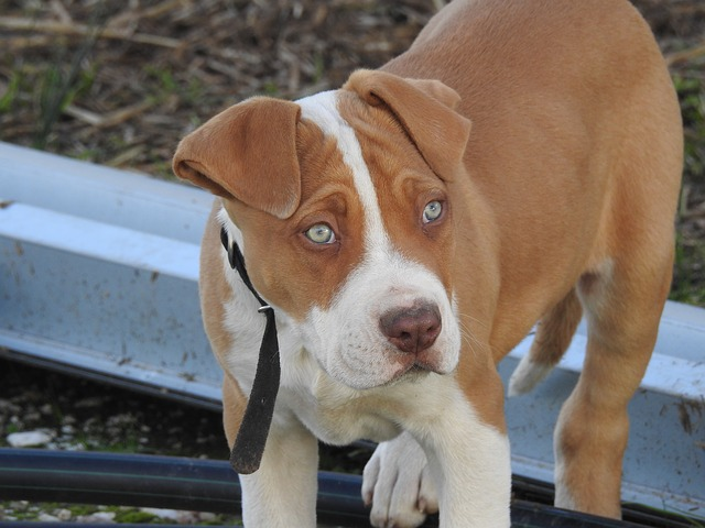 brown and white pitbull puppy