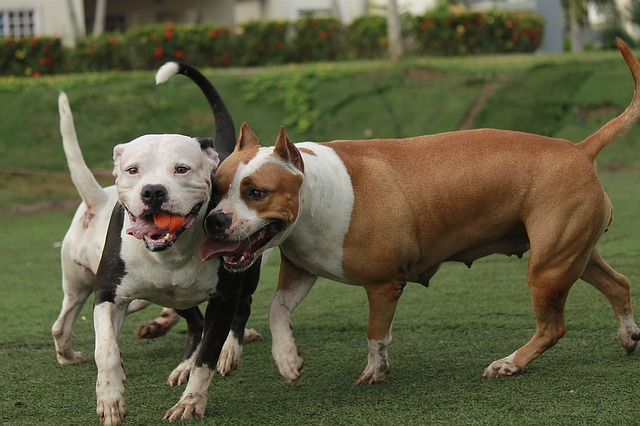 two pitbulls playing