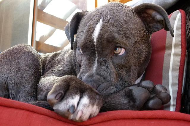 tired pitbull