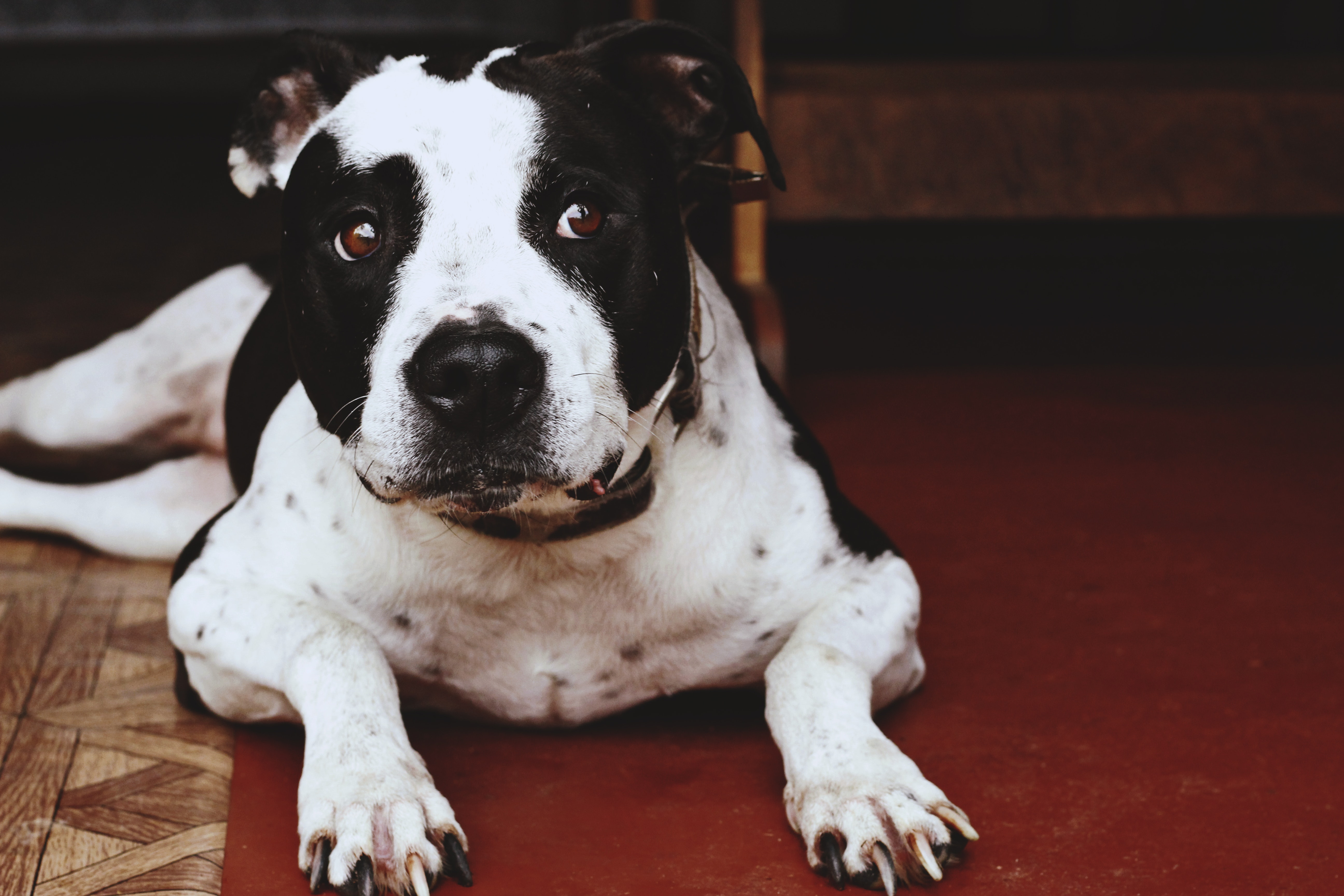 adorable american pit bull terrier animal