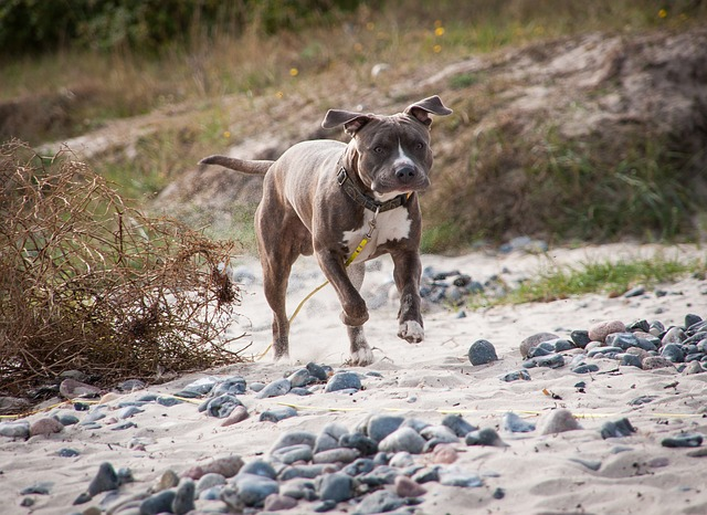 brown and white american staffordshire running
