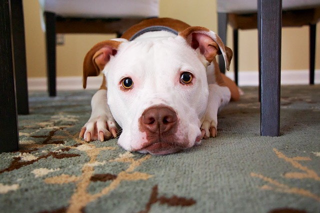 brown and white american bull terrier starring