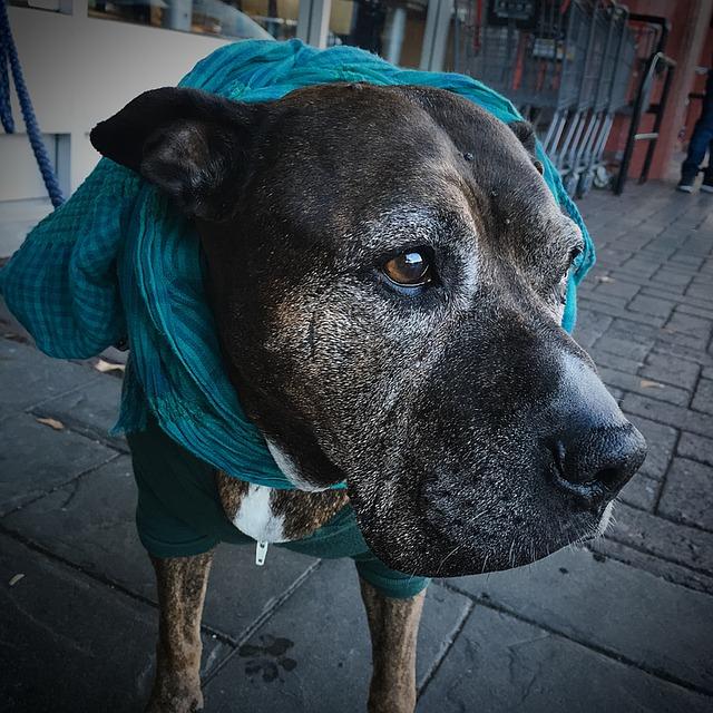 senior-pitbull