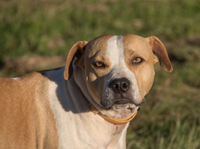 brown and white american bull terrier