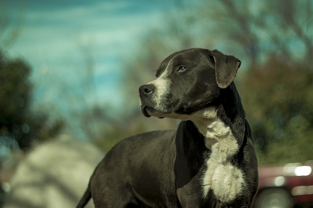 black and white pitbull looking