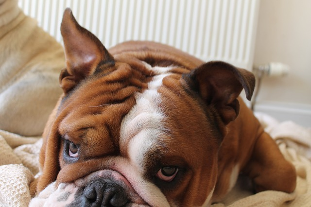 brown and white english bulldog laying in bed