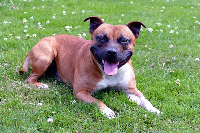 brown and white staffordshire smiling