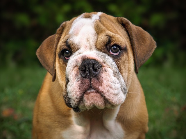 brown and white english bulldog
