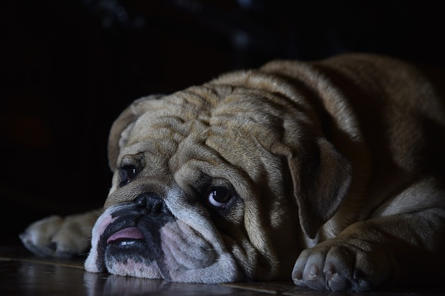 wrinkly english bulldog