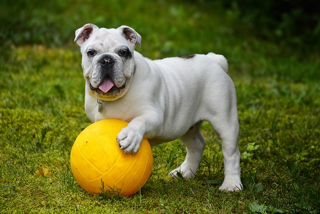white english bulldog holding ball