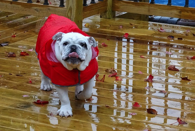 english bulldog wearing red rain coat