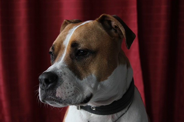 brown and white american staffordshire