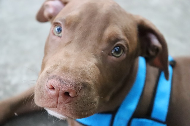 brown pitbull with green eyes