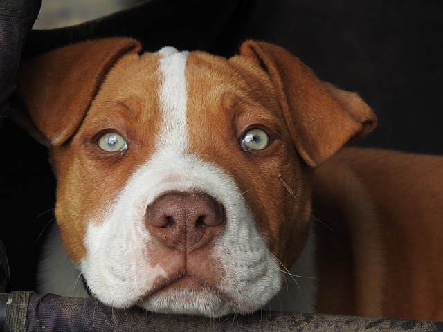 brown and white pittie green eyes