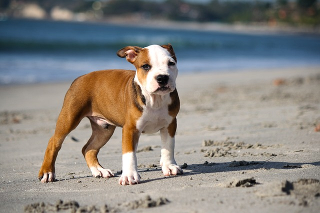 brown and white pittie pup on beach