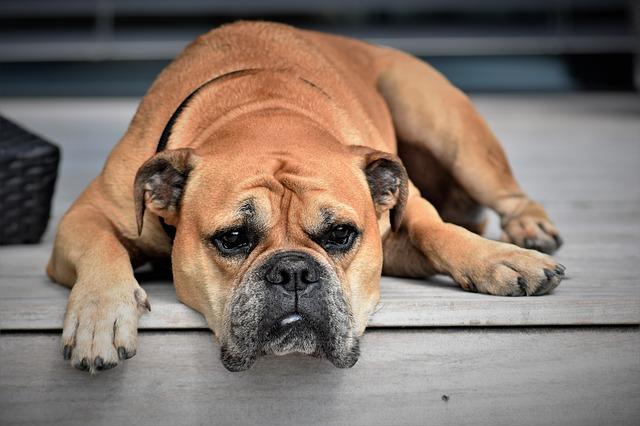 brown pitbull english bulldog mix