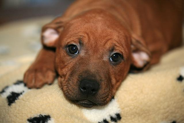 brown american bull terrier puppy