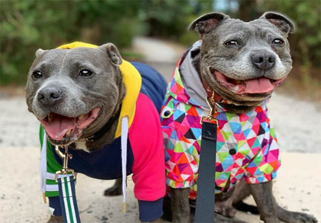 two pit bulls dressed up for a walk
